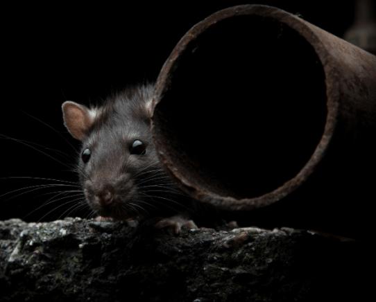 rat by drainpipe